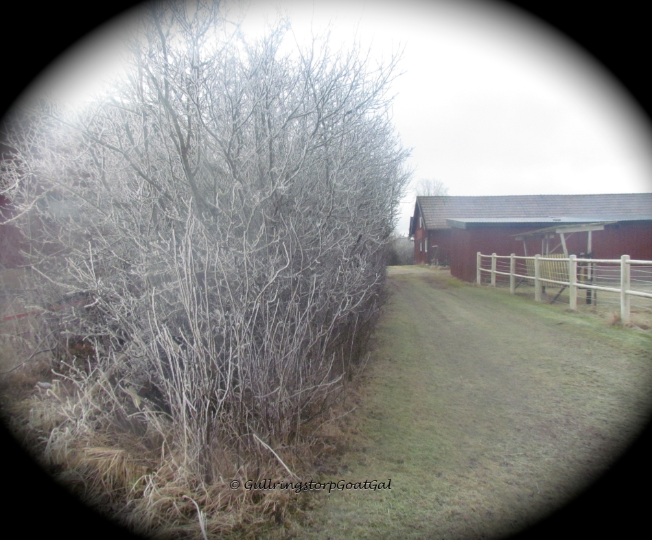 The frosty path in the rear of of the stable and beside the goat enclosure