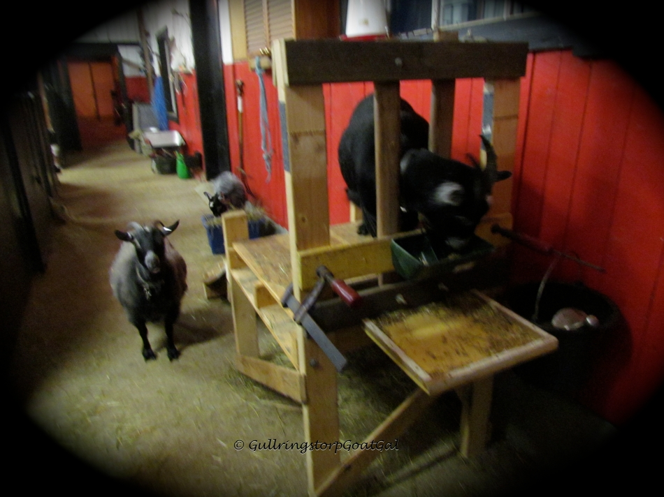 Nanna has finished her grain and now enjoys her hay, Keriana watches Alika on the stand as she waits her turn