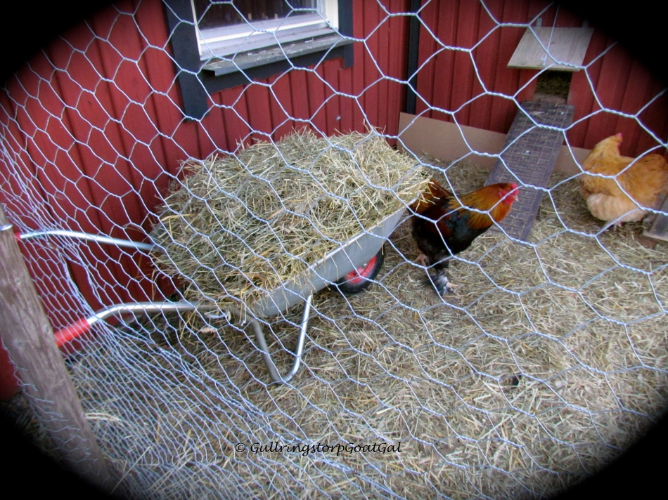 After my mothers-to-be had their breakfast and after Frida & Emil had their time together, I raked up the stable floor and brought out all the straw and hay for the chicken yard