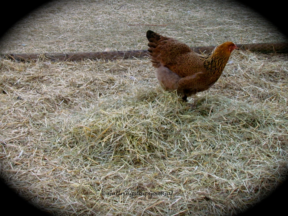 This little lady really enjoys scratching in the new piles of hay & straw