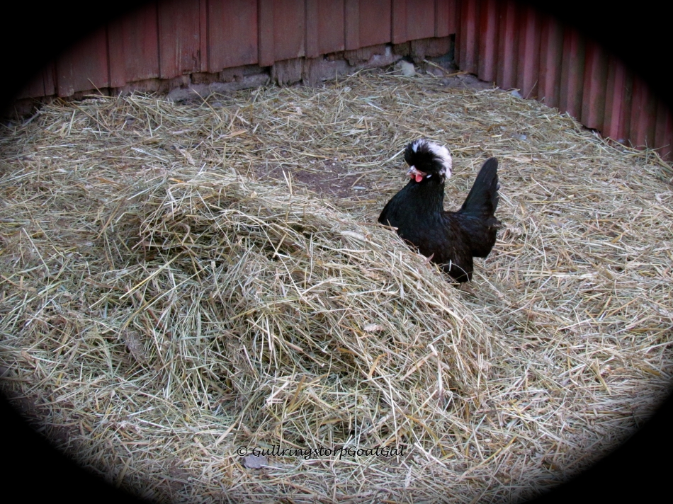 Little Topsy Turvy has fun when she finds a pile on the other side of the chicken house