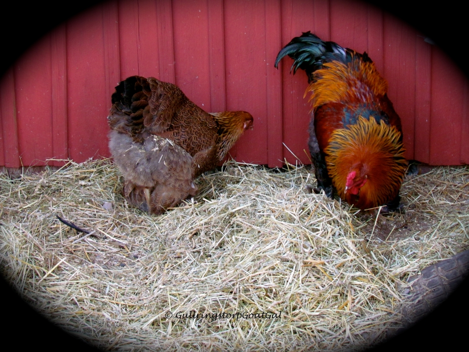 Our new rooster and one of his ladies also enjoyed the new piles