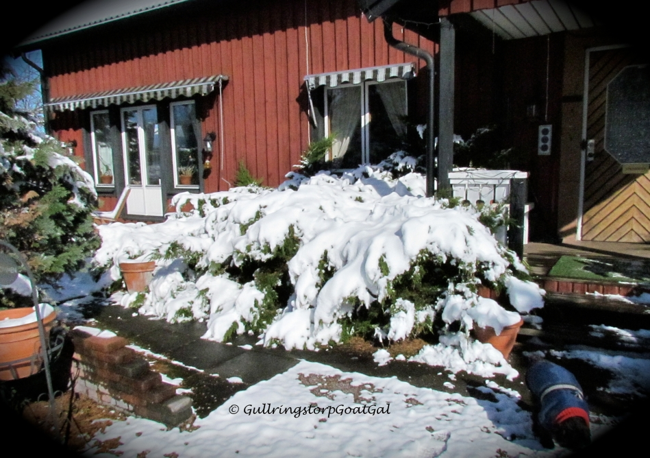 The junipers right outside our front door were laden with great heaps of snow