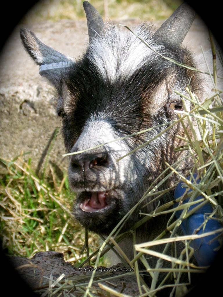 Iris enjoying some fresh hay