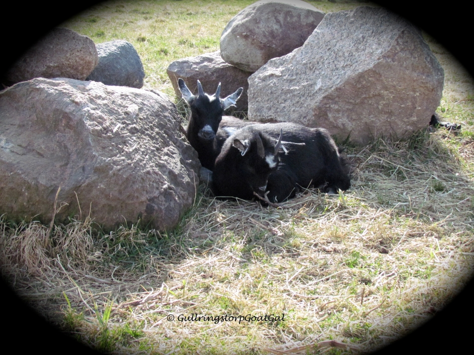 Pansy and Poppy relax together with mamma Frida just on the other side of the rock