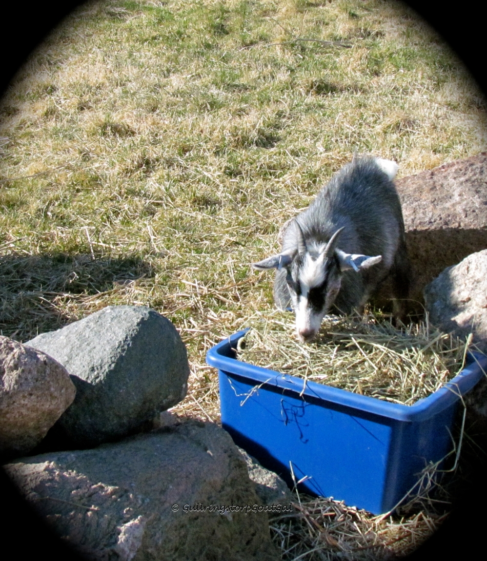 Petunia enjoying the hay bucket all alone!