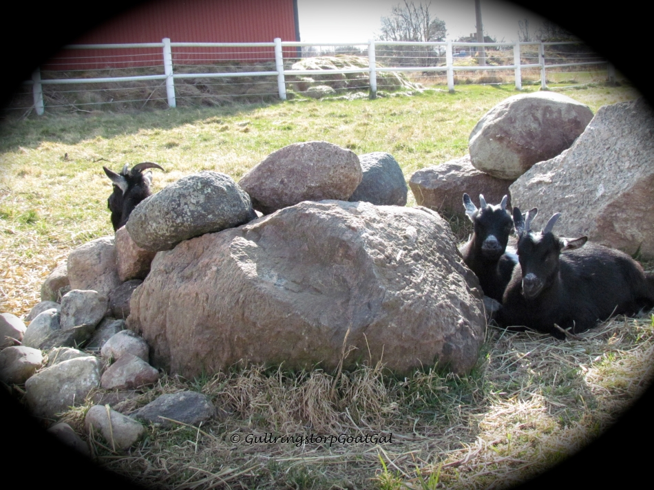 As the girls grow up, Pansy and Poppy want a bit more independence from Mommy. But as you can see Frida is never very far away, she is just on the other side of the rock.