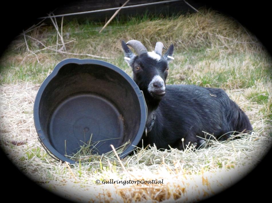 Pumpkin loves to lean on the empty hay bucket