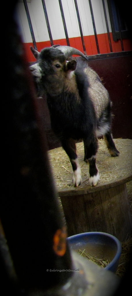 It's hard for a goat mommy to look at that face and realize that one day he too will be sparring for position