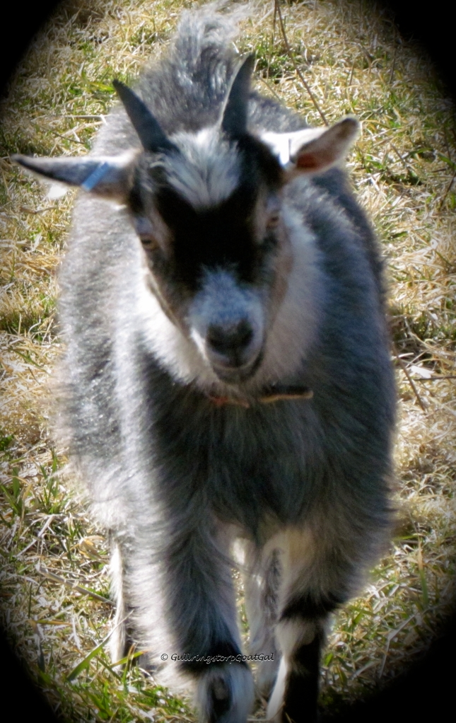 Iris,  one of our Pygmy goats