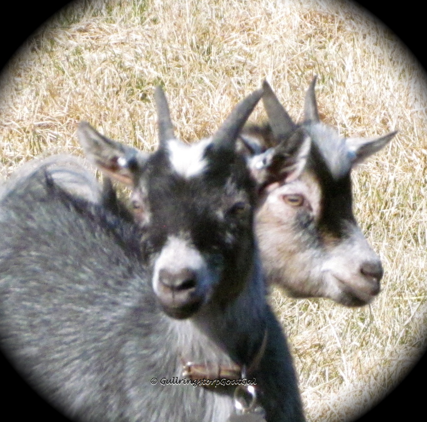Ivy and Iris, two of our tiny Pygmy goats