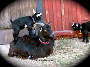 What a good goat mommy!