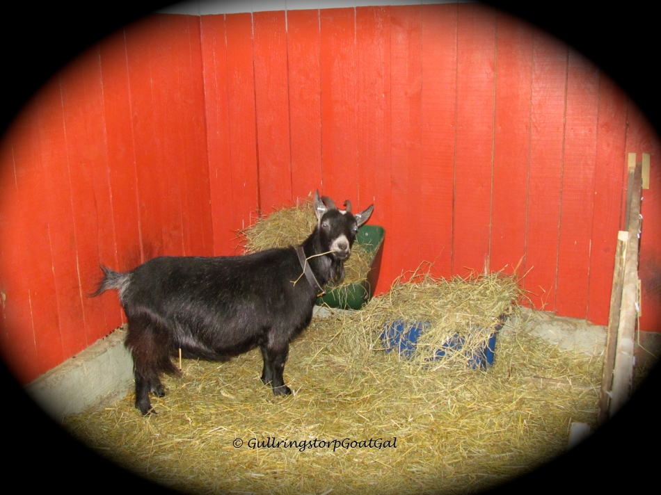 Alika is happily eating hay while she waits her turn on the Milk Stand