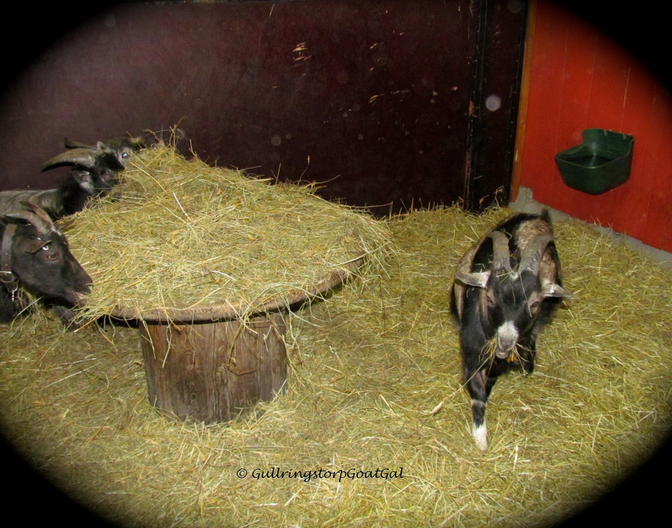 My little boys are happily munching on their special meadow hay on their table!