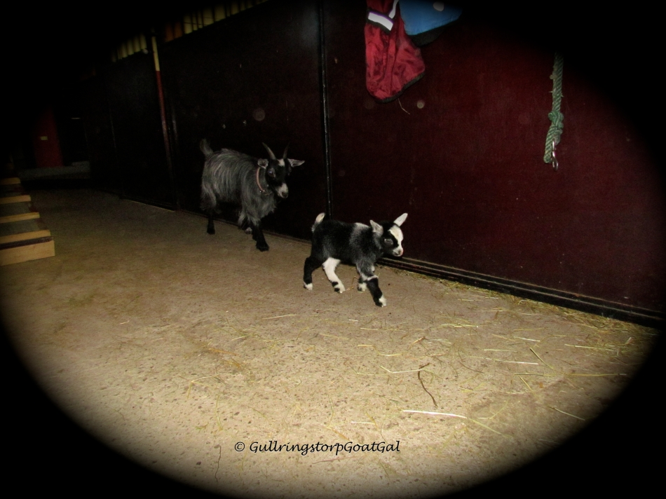 Little fella had fun walking around the stable last evening