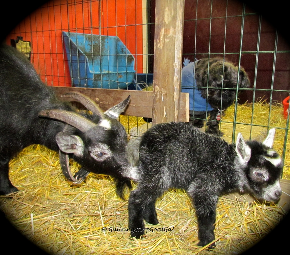 Both Alika and Keriana are big goats so we chose to breed them with a smaller goat to make sure they had tiny babies to deliver, for the first time. Little Pip's father is Baby Boy a Pygmy goat