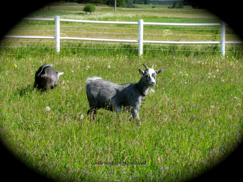 Here is Petunia and Iris in the enclosure