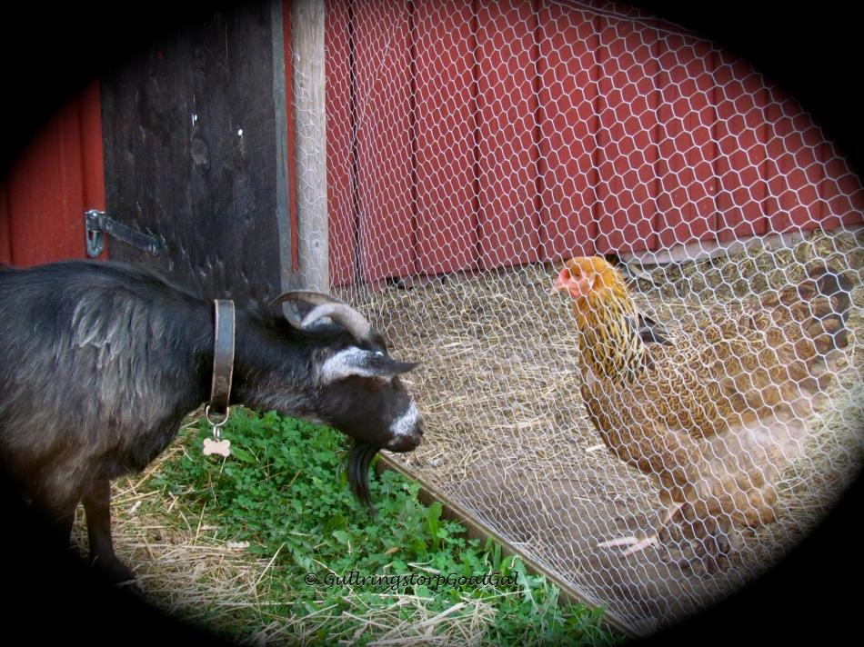 Keriana meets the hens for the first time!