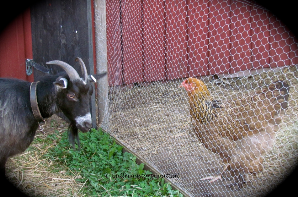 Keriana's curiosity about the hens is short-lived, but not for the hens