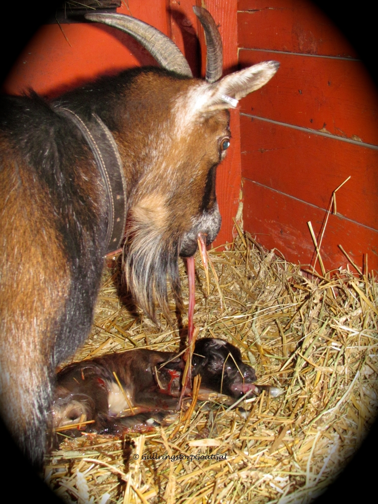 All of our  mothers eat the birthing remains from the straw and from the baby