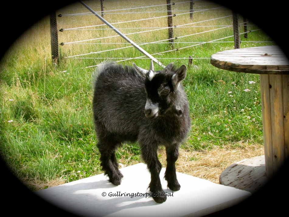 Alika's son Pip stands proudly on one of the platforms for the goats to play on