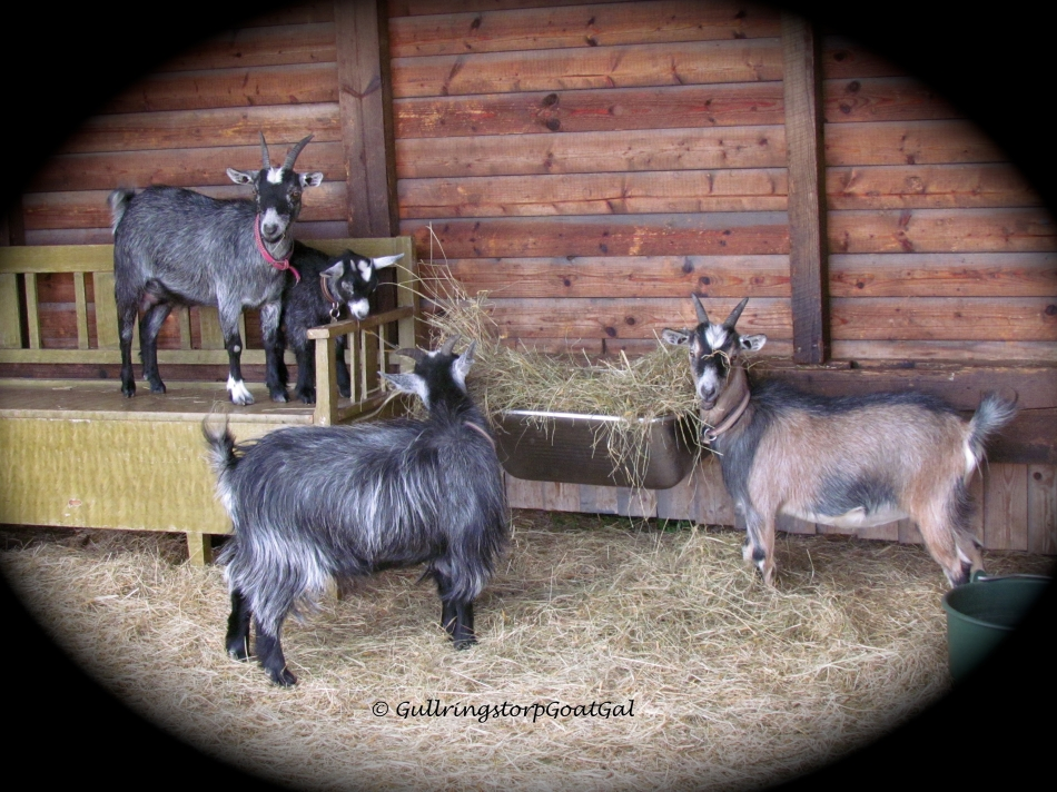 Three of our Pygmy ladies. Look at Ivy and her daughter Little Surprise, so sweet