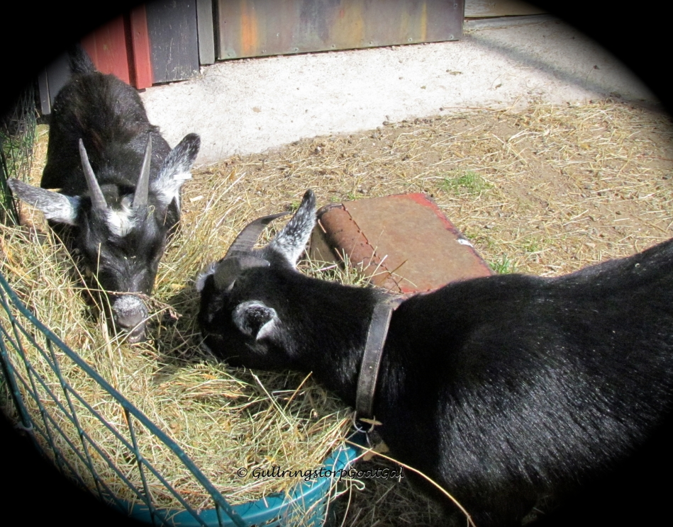 Frida's girls Pansy and Poppy are enjoying some hay