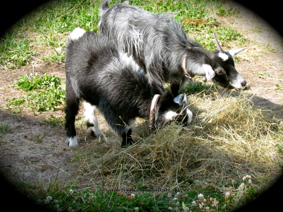 Even though our goats have a wonderful field full of yummy greens, they all still love to enjoy hay