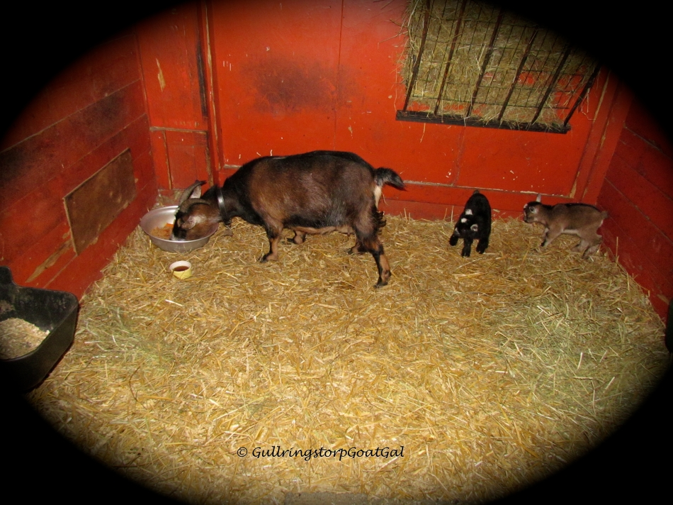 The next morning Hilda gets her after delivery breakfast, fresh apples, her favorites , carrots and warm molasses water