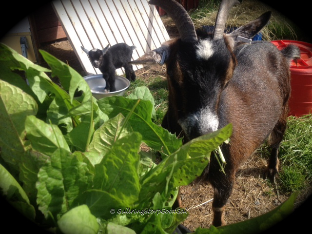 Hilda enjoys a bunch of fresh dandelion greens picked on the farm