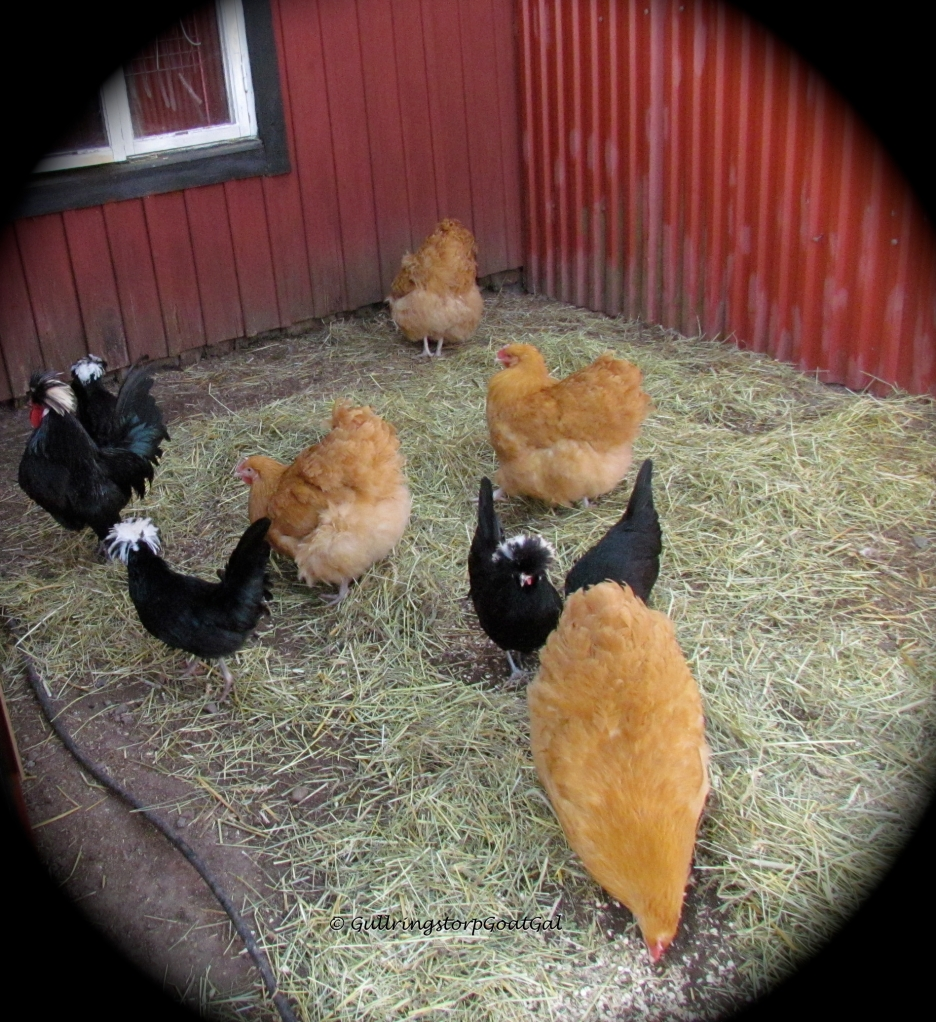 Because of all the rain we have had this month, the hens yard was just mud. We not only cleaned out their house, but we gave them some recycled hay from the goats boxes for under foot in the yard. They really liked it.