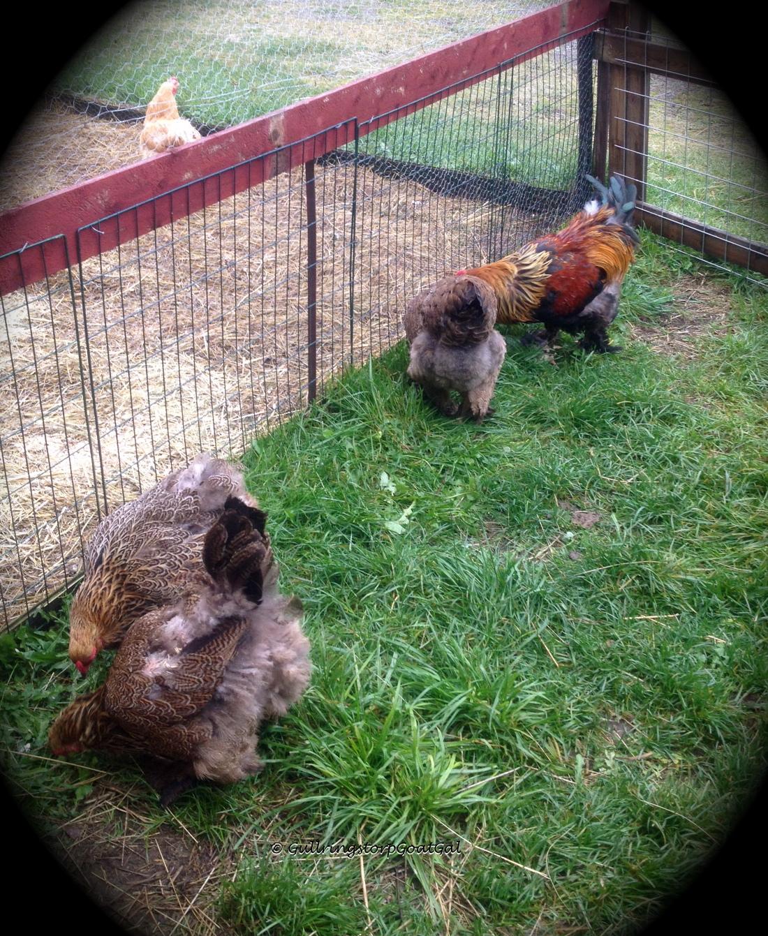 Sick Chicken No Feathers