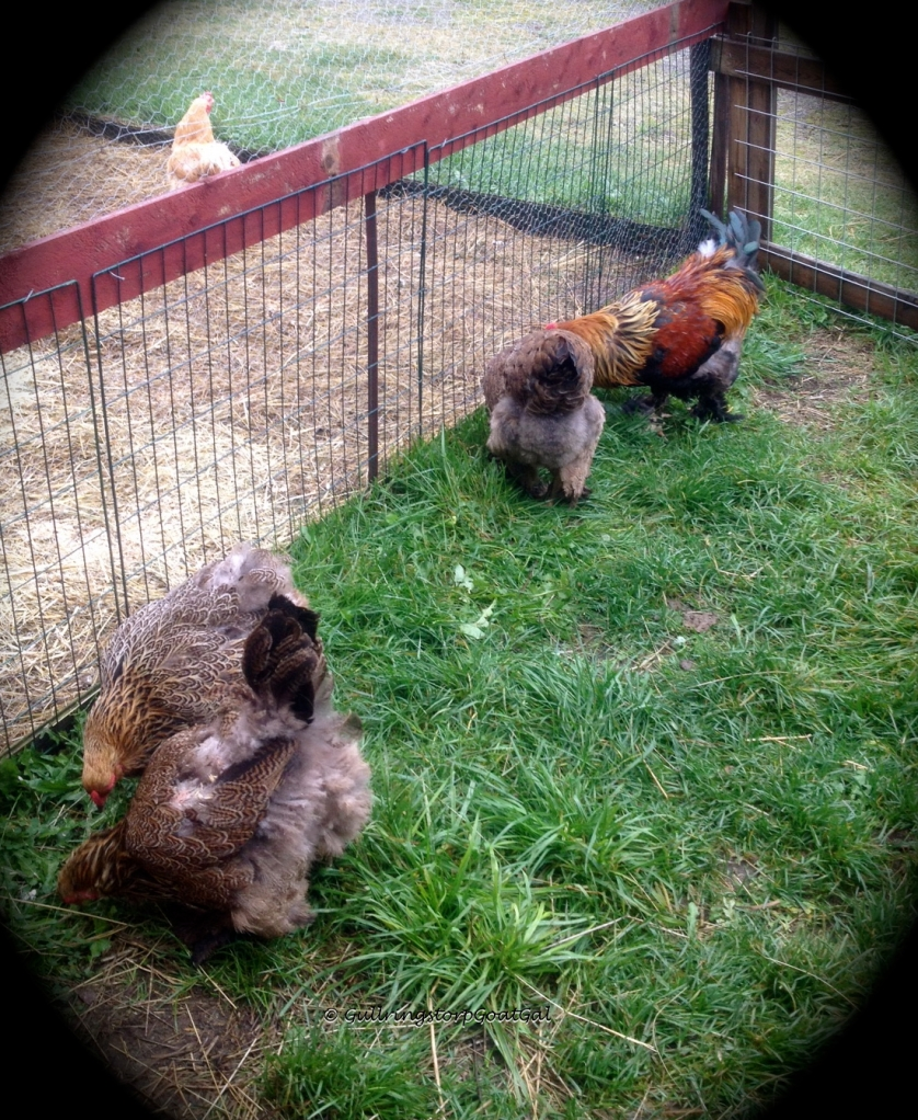 The wind blows the chicken's feathers as they enjoy the wet grass
