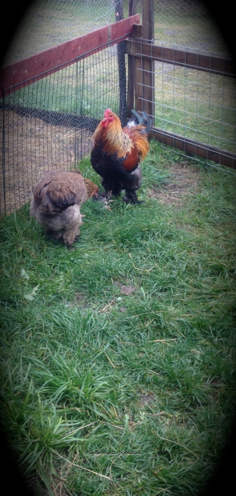 One of our roosters, Eugene and one of his ladies