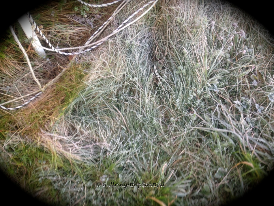 Crunchy frost grass in the enclosure