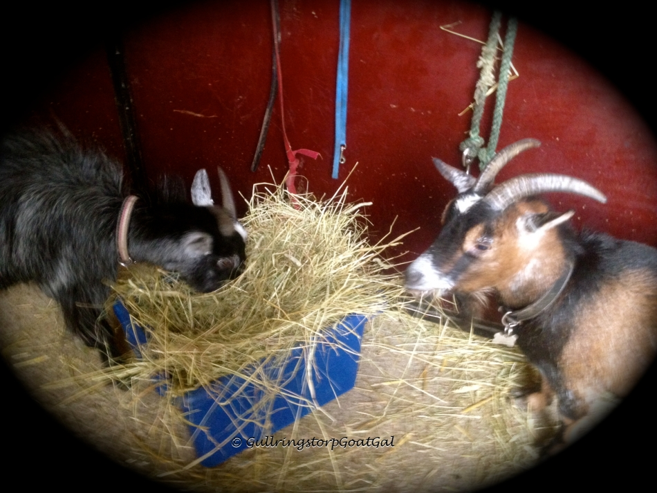 Hilda and Nanna have some hay in the corridor