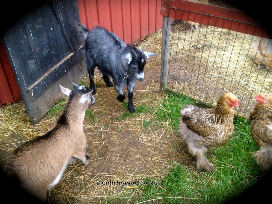 Little Fiona and Phillip enjoy the chickens