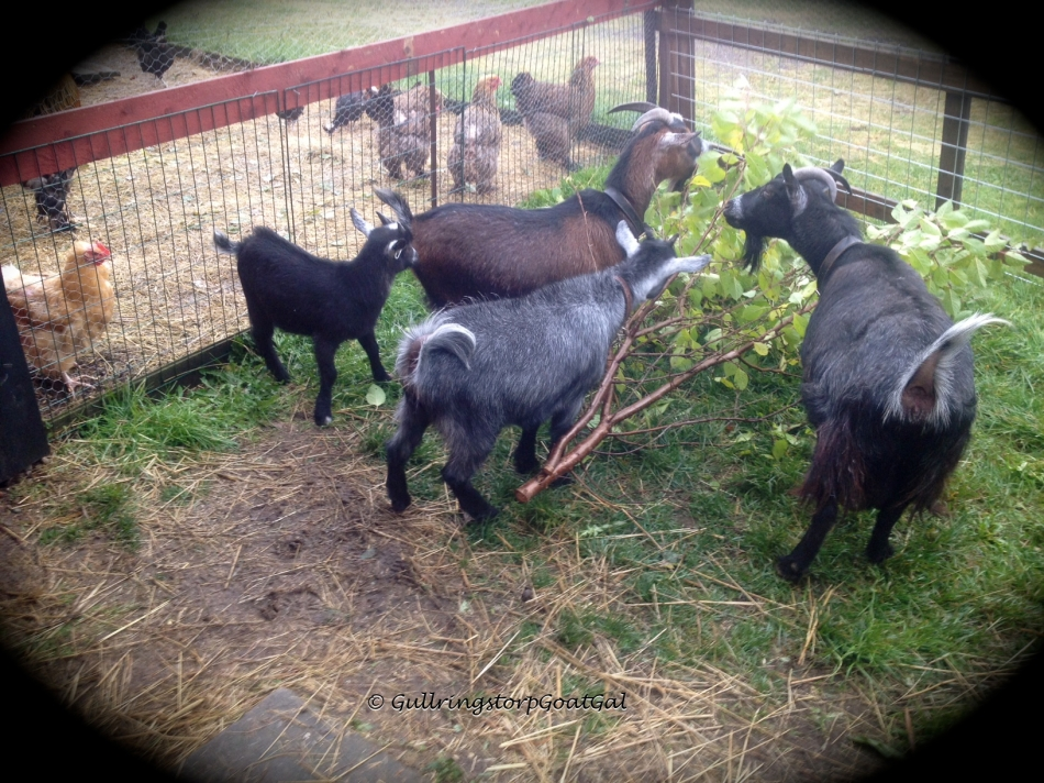 With the grounds, intermittent rain and the goats can not go out into the enclosure. Here they enjoy a branch between showers in the back play yard