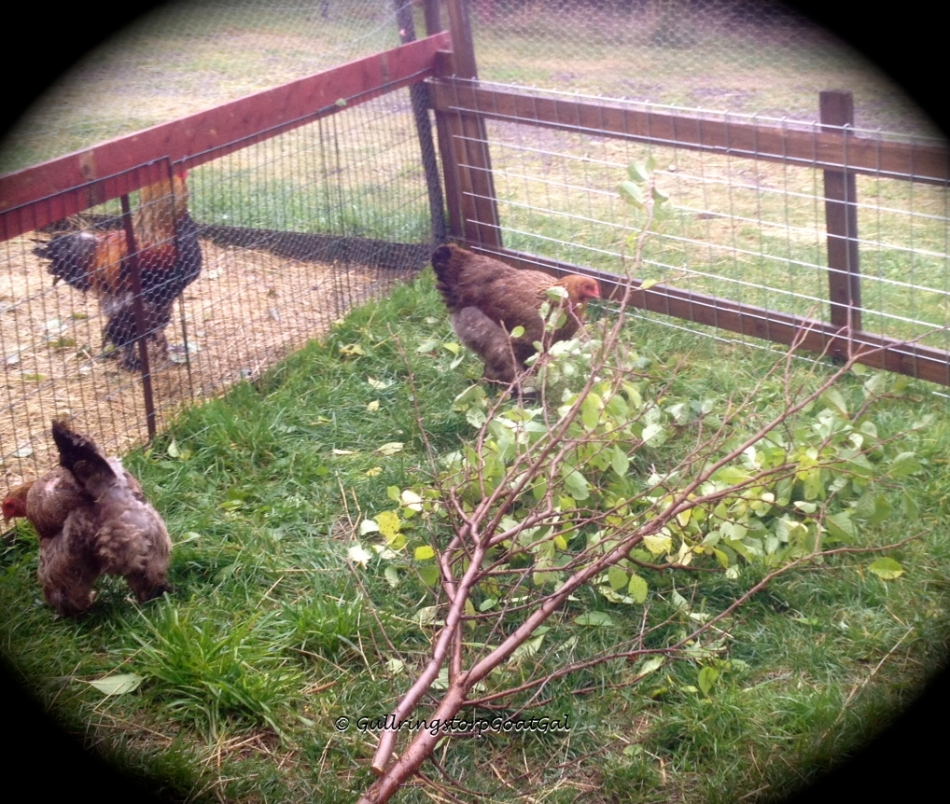The hens are allowed into the goat's play area to enjoy the grass and branch