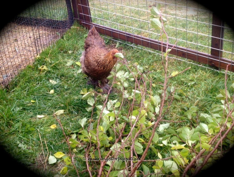 One of our hens enjoying the branch