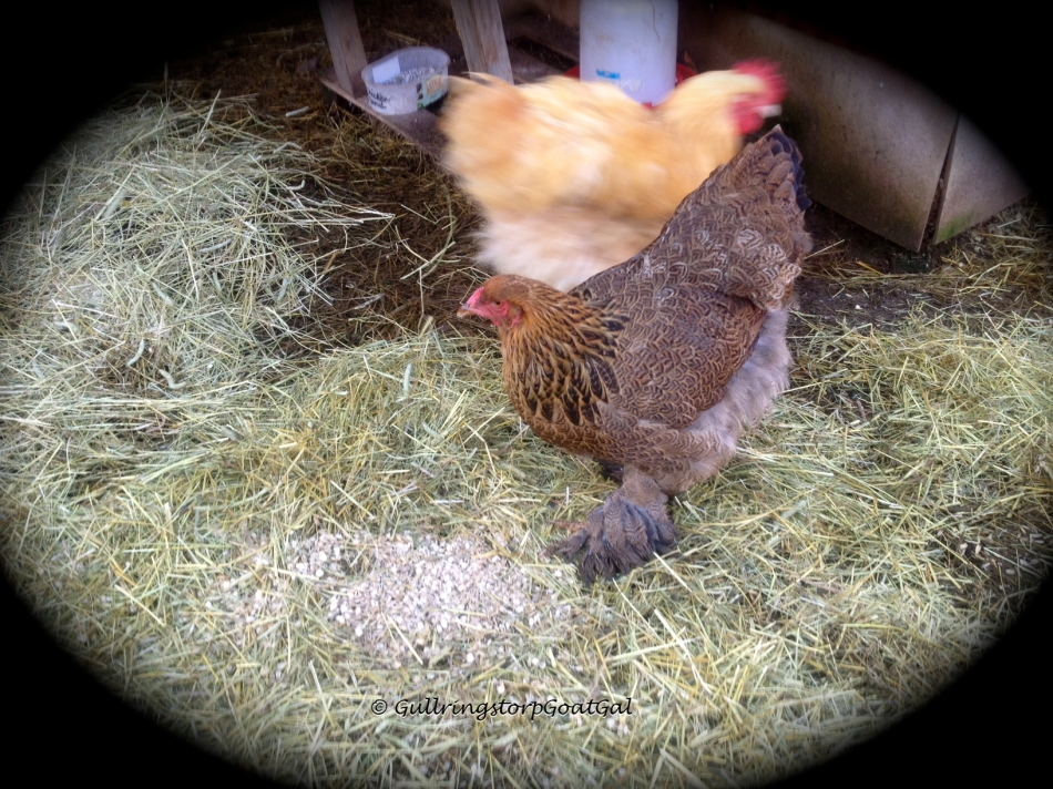 Happy hens !