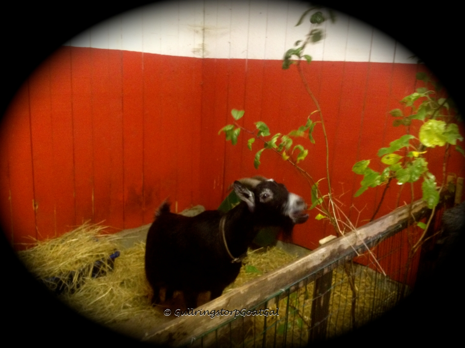 Alika enjoying her branch. We have to be imaginative in how we place the branches. they can not be just placed on the floor of the boxes. By nature, goats are browsers, so they need to stretch their necks upward to enjoy the leaves