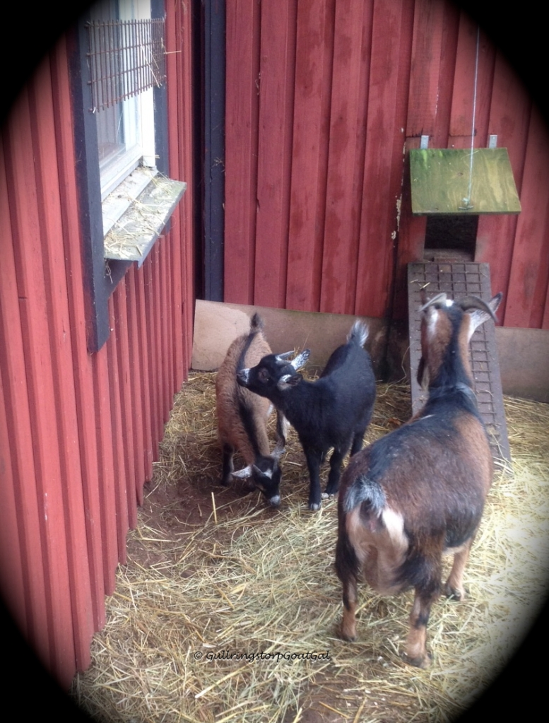 Hilda and her sons, Phillip and Winston explore the chicken yard