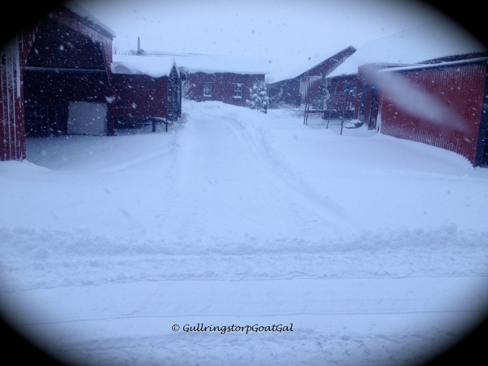 This is the road behind the stable. On the right is the snowed in chicken yard. Don't wrry our hens and roosters are warm inside their heated hen house with a nice bowl full of snow to peck at. They love that.