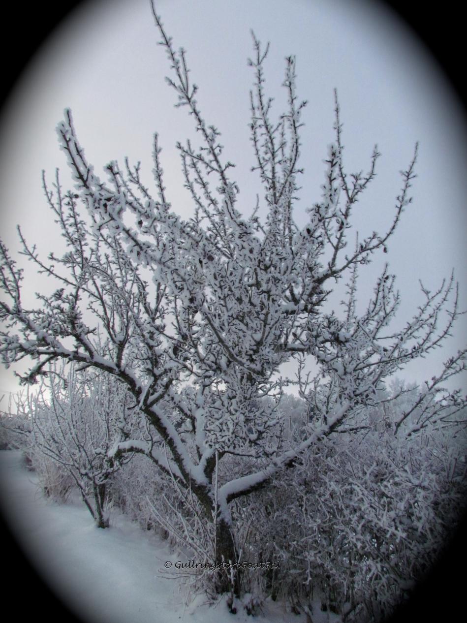 A crispy pear tree