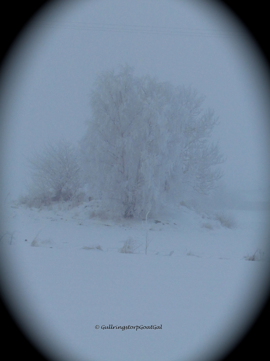 Ice crystal trees in the cold fog
