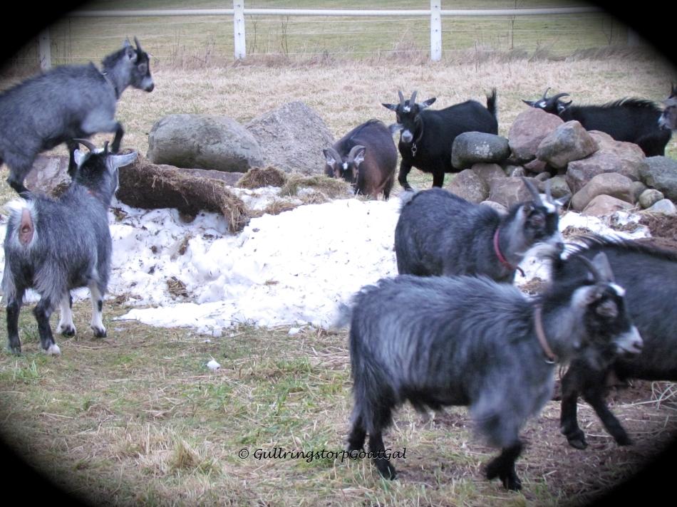 Snow goats