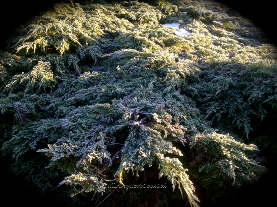 Beautiful Evergreens all frosty