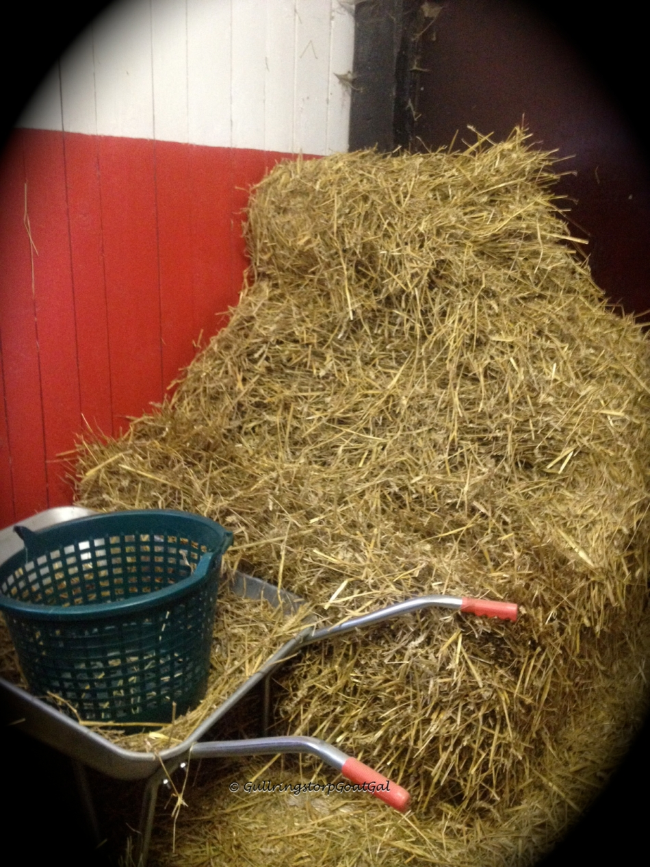 This was once a beautiful huge round bal of straw. It's ok to look like this, as long as my goats get straw on a daily basis. We have an entire enclosure outside full of neat little straw bales, under a tarp to stay dry through snow and rain.
