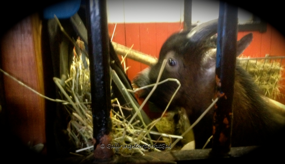 Phillip enjoying some hay from his safe spot